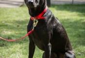 Chó Phú Quốc giá 340 triệu/con ở trời Tây