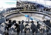 Đại gia Trung Quốc: Ông chủ công ty game đi chăn lợn