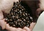 Giá cà phê hôm nay 29/8: Quanh mốc 33.000 đồng/kg