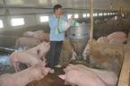 Hậu khủng hoảng thịt lợn: 900 ngàn hộ treo chuồng