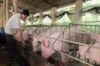 Hơn 1 năm ế không lối thoát: Thịt lợn bất ngờ tăng dựng ngược